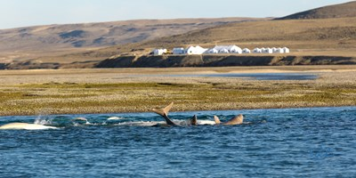 Juvenile Beluga Playing in front of Arctic Watch