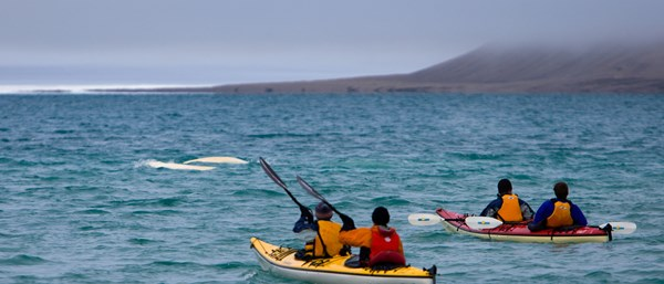 Sea Kayaking on the Northwest Passage with Belugas, Arctic Canada| © Arctic Watch