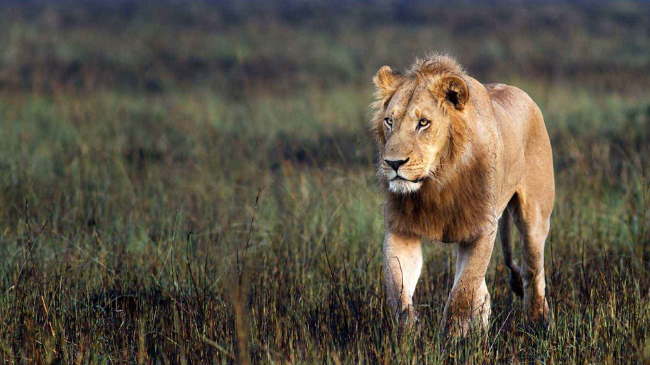 Botswana wildlife: lion