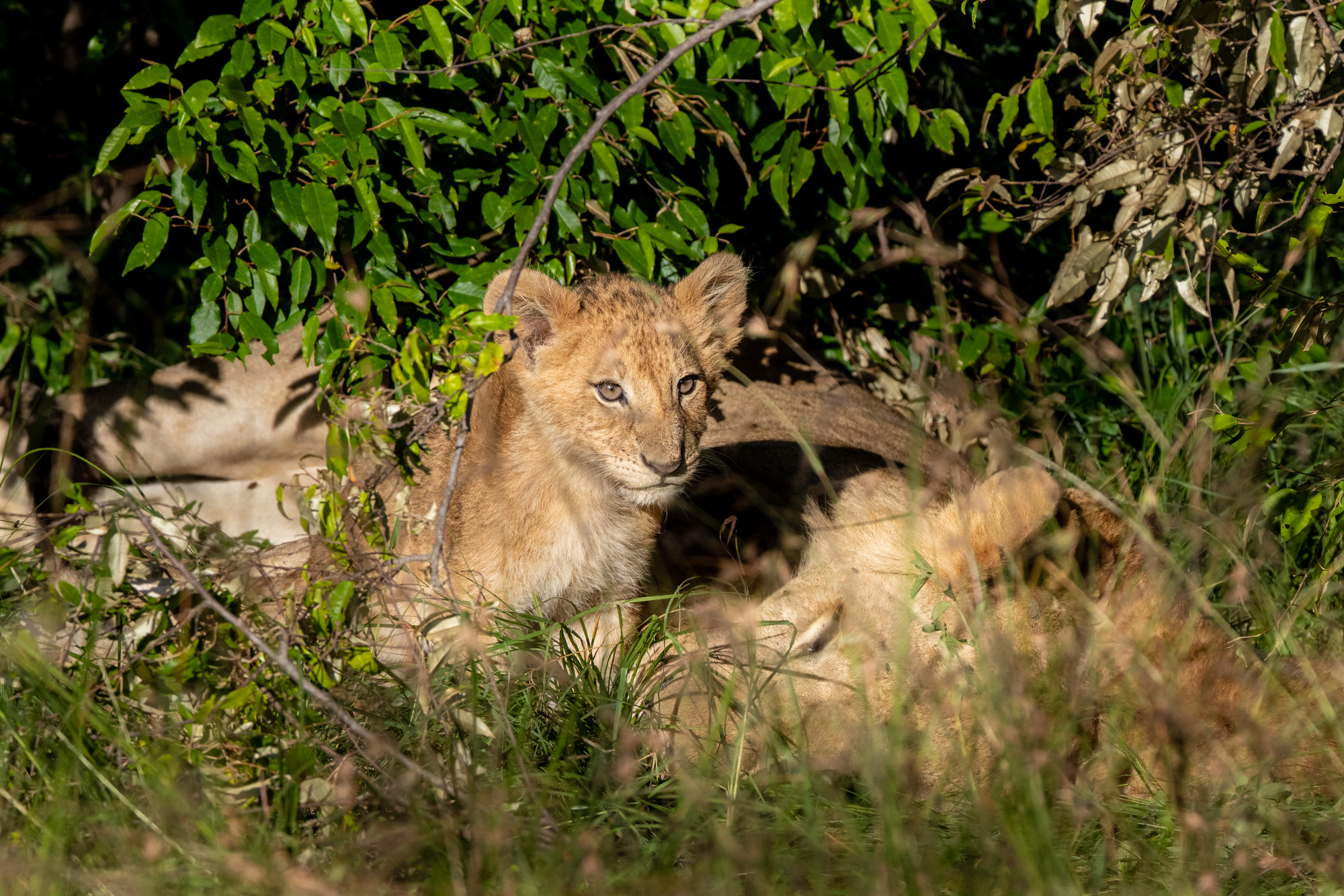Kenya Rekero Lion Cub Steve Winter