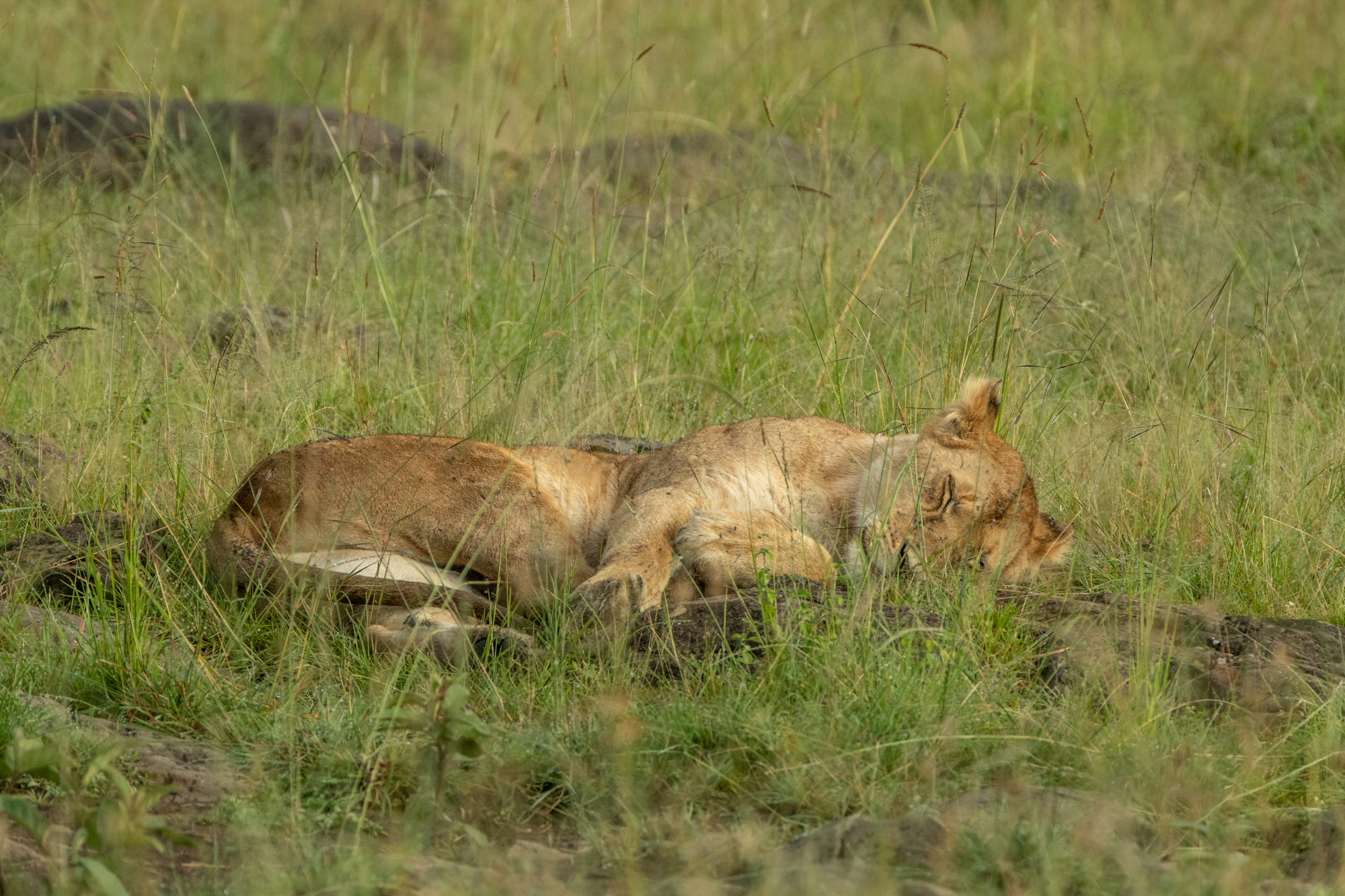 Kenya Rekero Lion Sleep Steve Winter