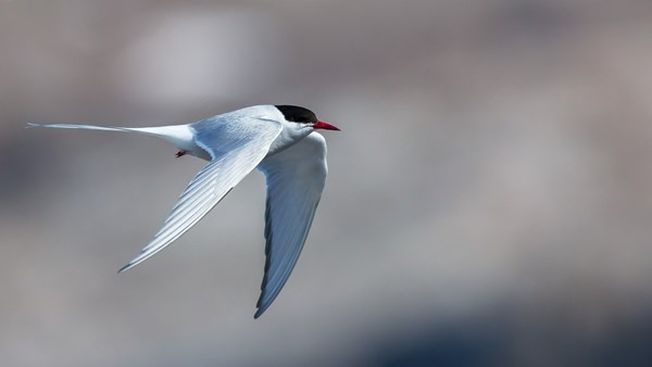 Arctic Tern | © G Expedition
