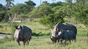 Botswana wildlife safari: White Rhino