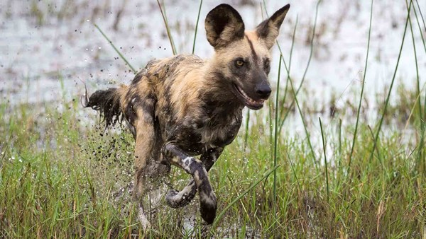 Botswana wildlife safari: Wild Dog