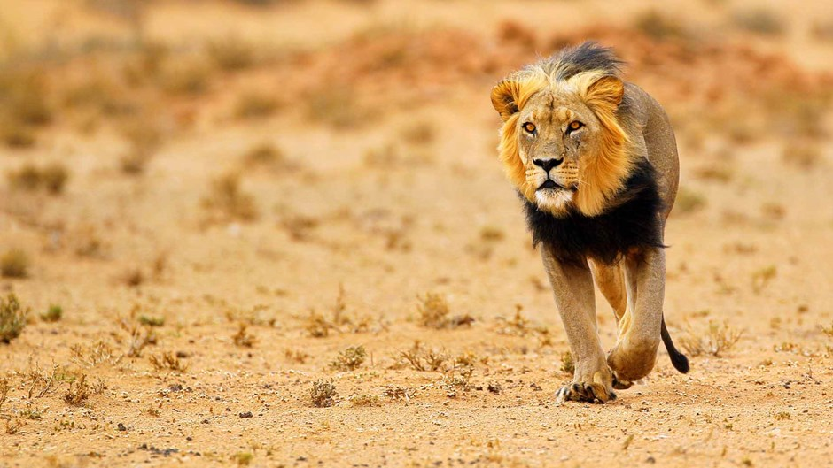 Black maned lion of the Kalahari, Botswana