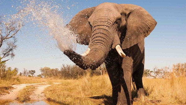 Elephant spraying water in Botswana