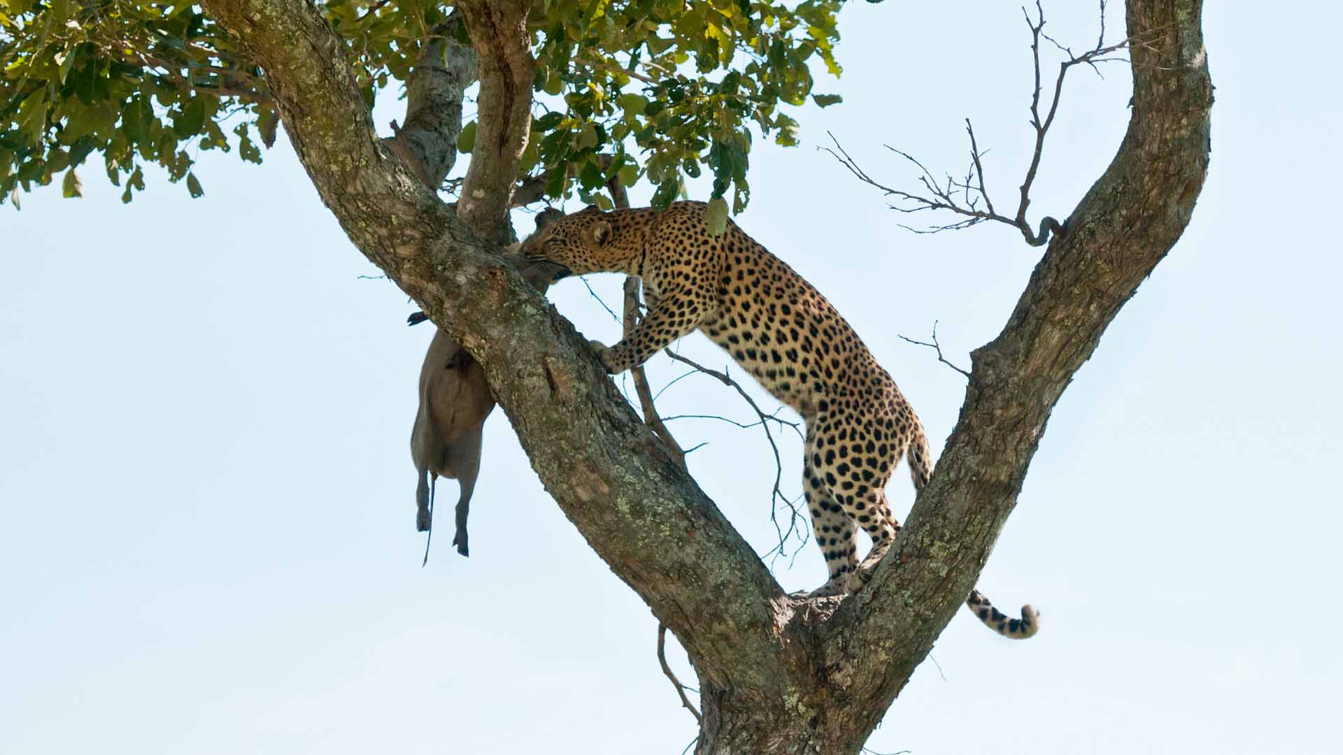 Leopard with kill, Botswana