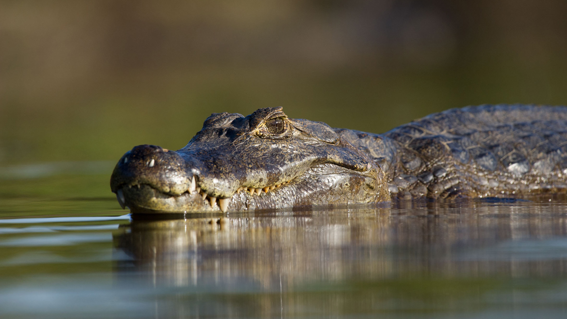 Caiman in the Brazilian Pantanal, Paul Joynson-Hicks