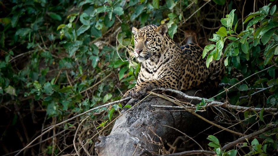 Jaguar in the Brazilian Pantanal, Paul Joynson-Hicks