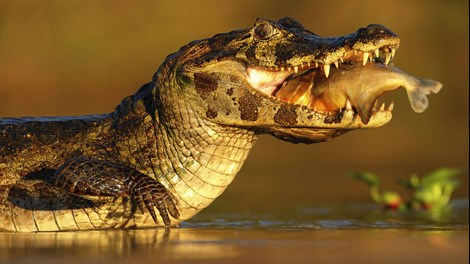 Caiman fishing, Brazil