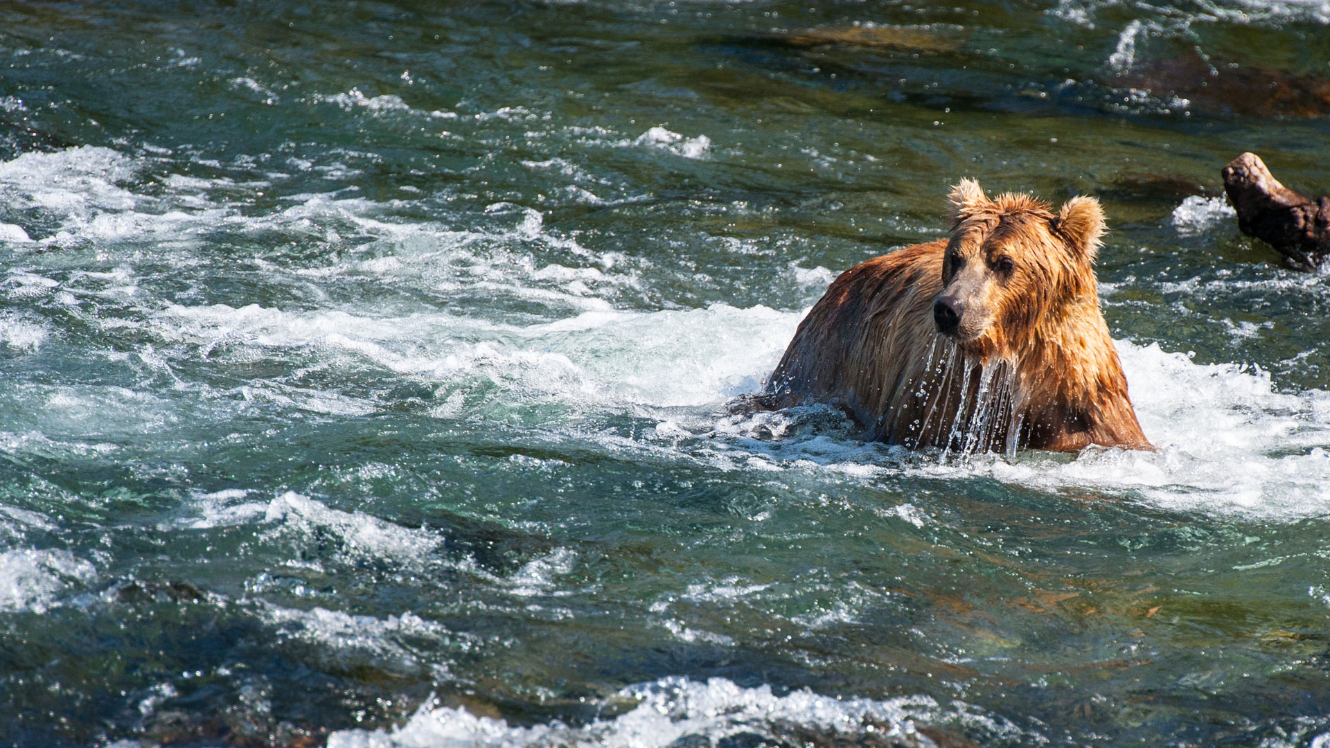 Grizzly bear in the river, Canada