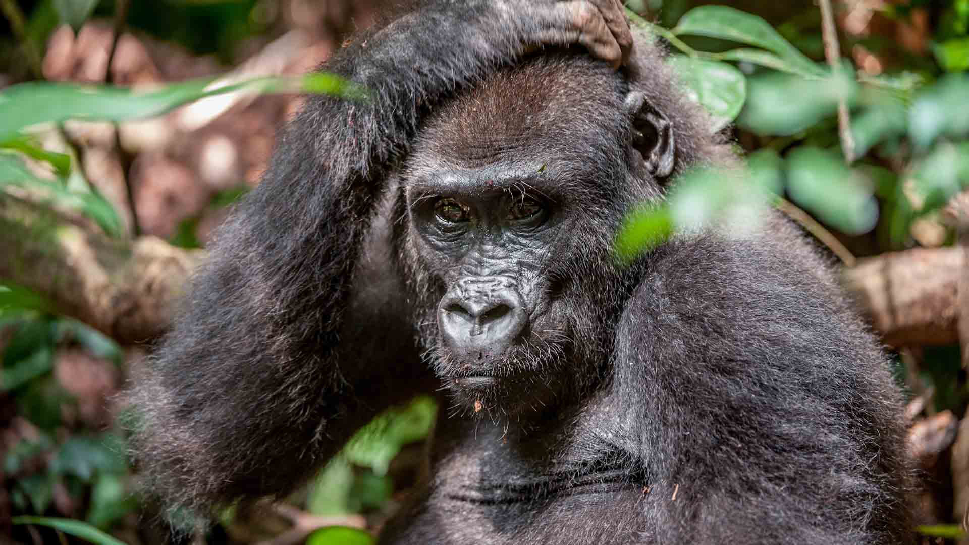 Lowland Gorilla in the Central African Republic