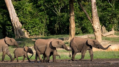 Forest elephants in Central African Republic