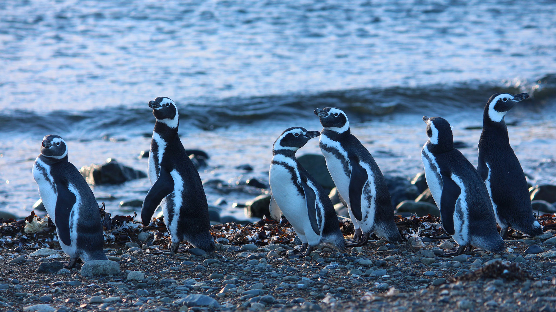 Penguins, Chile