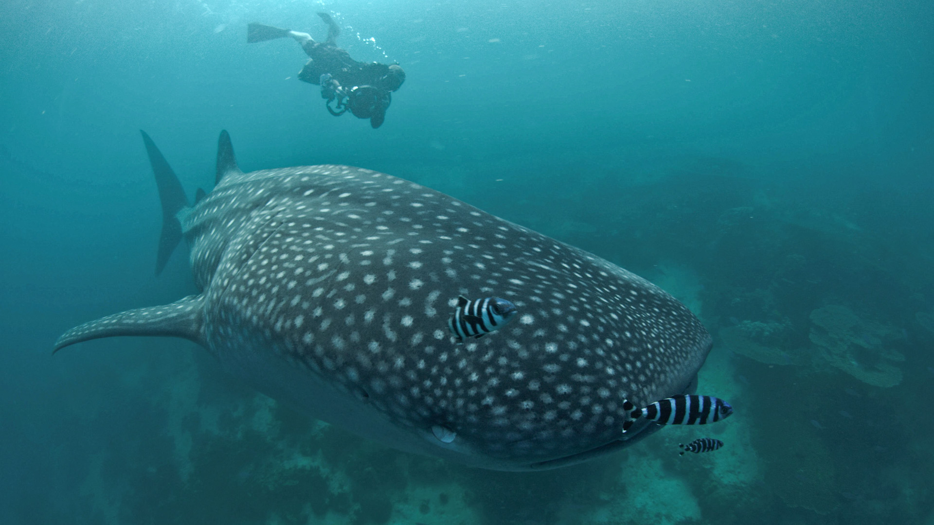 Swimming with whale sharks in Djibouti - Copyright Joshua Barton