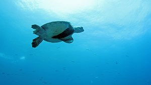 Swimming turtle,  Galapagos Islands
