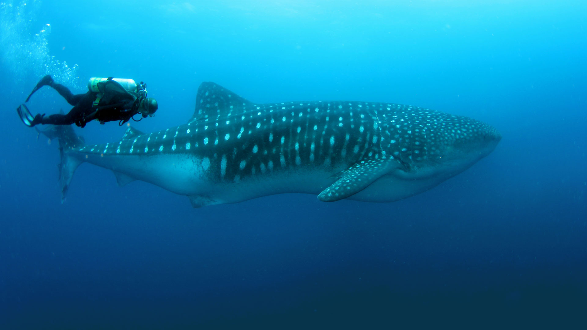 Whale shark dive, Galapagos Islands
