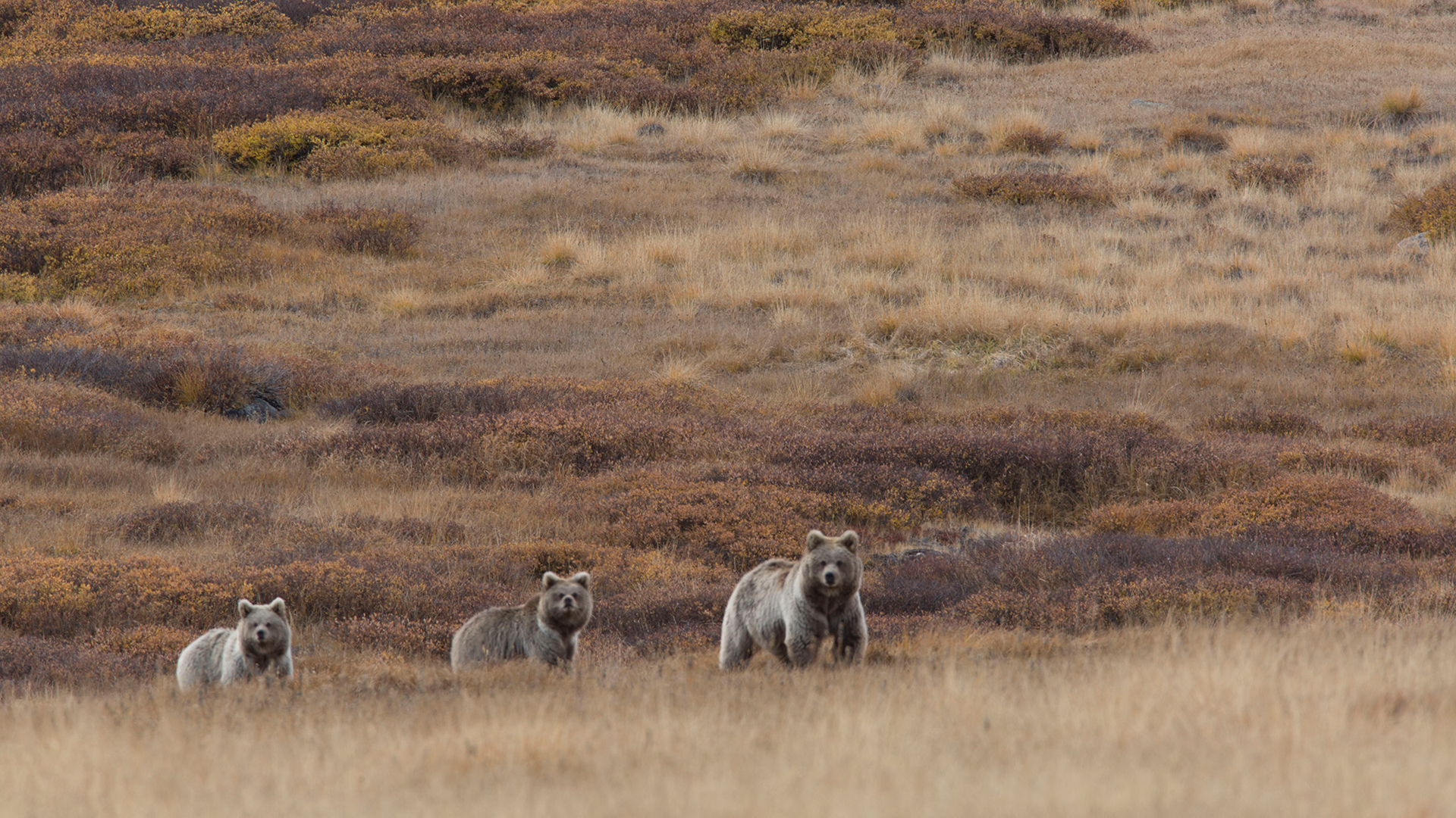 Himalayan brown bears, U.S. Embassy Pakistan, Flickr