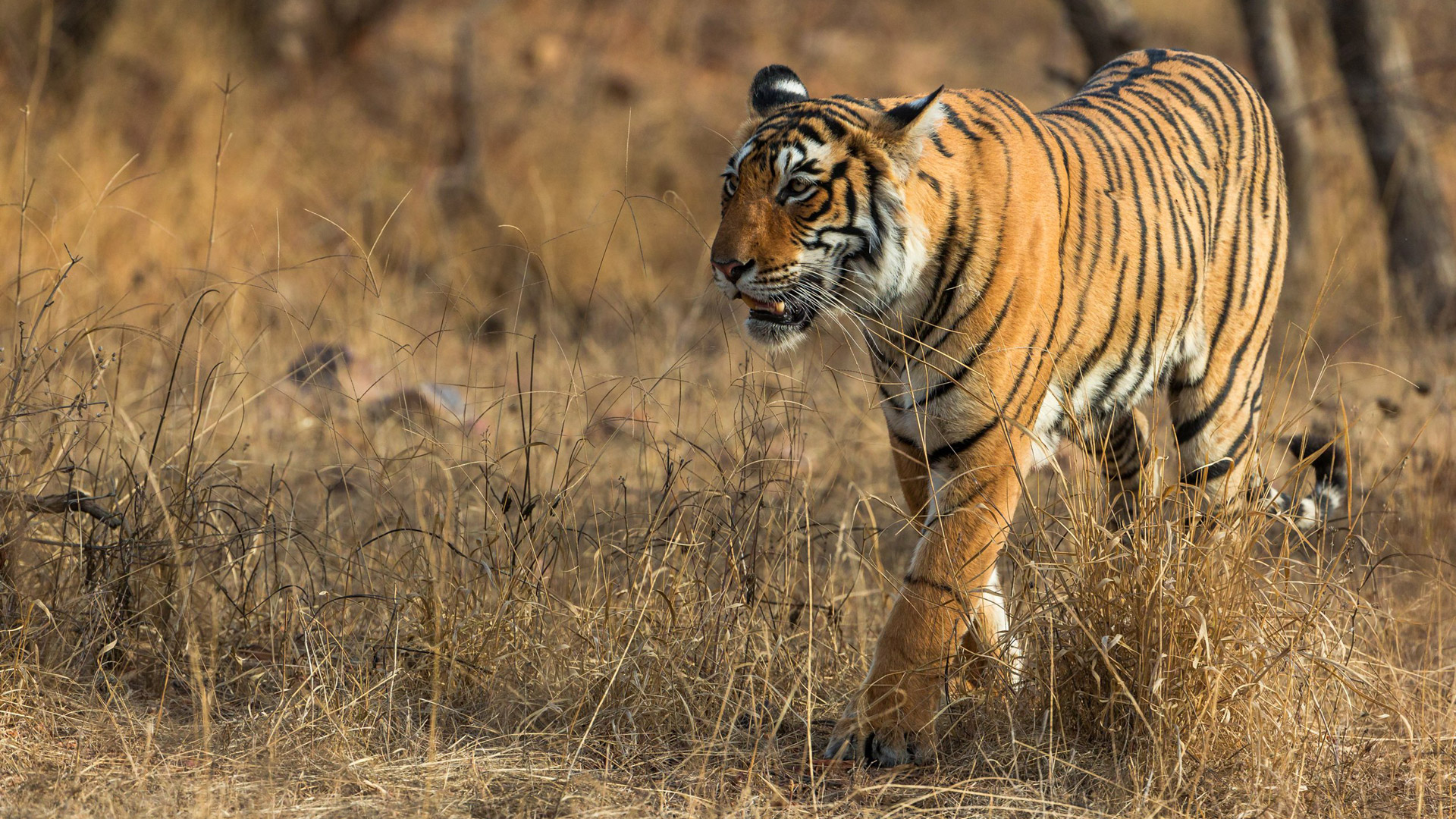 Richard Denyer India 2016 - Tiger