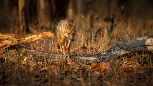 Golden Jackal, India