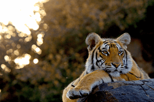 Bengal tiger in India by Russ MacLaughlin