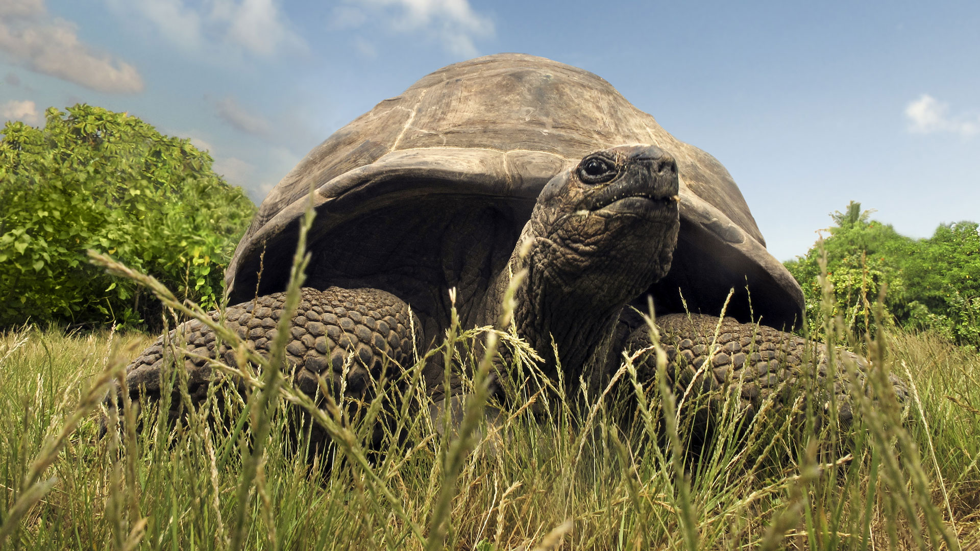Aldabra tortoise, Indian Ocean