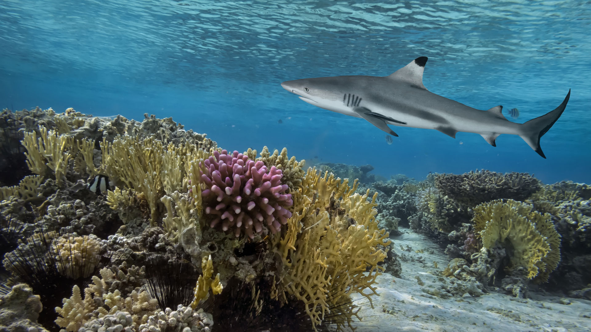 Reef Shark, Indian Ocean