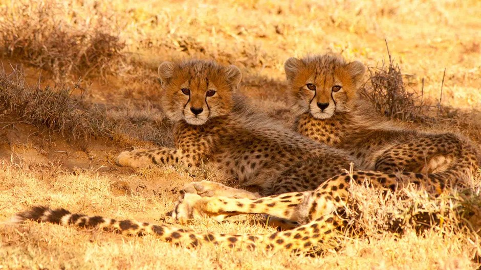 Kenya safari: cheetah cubs