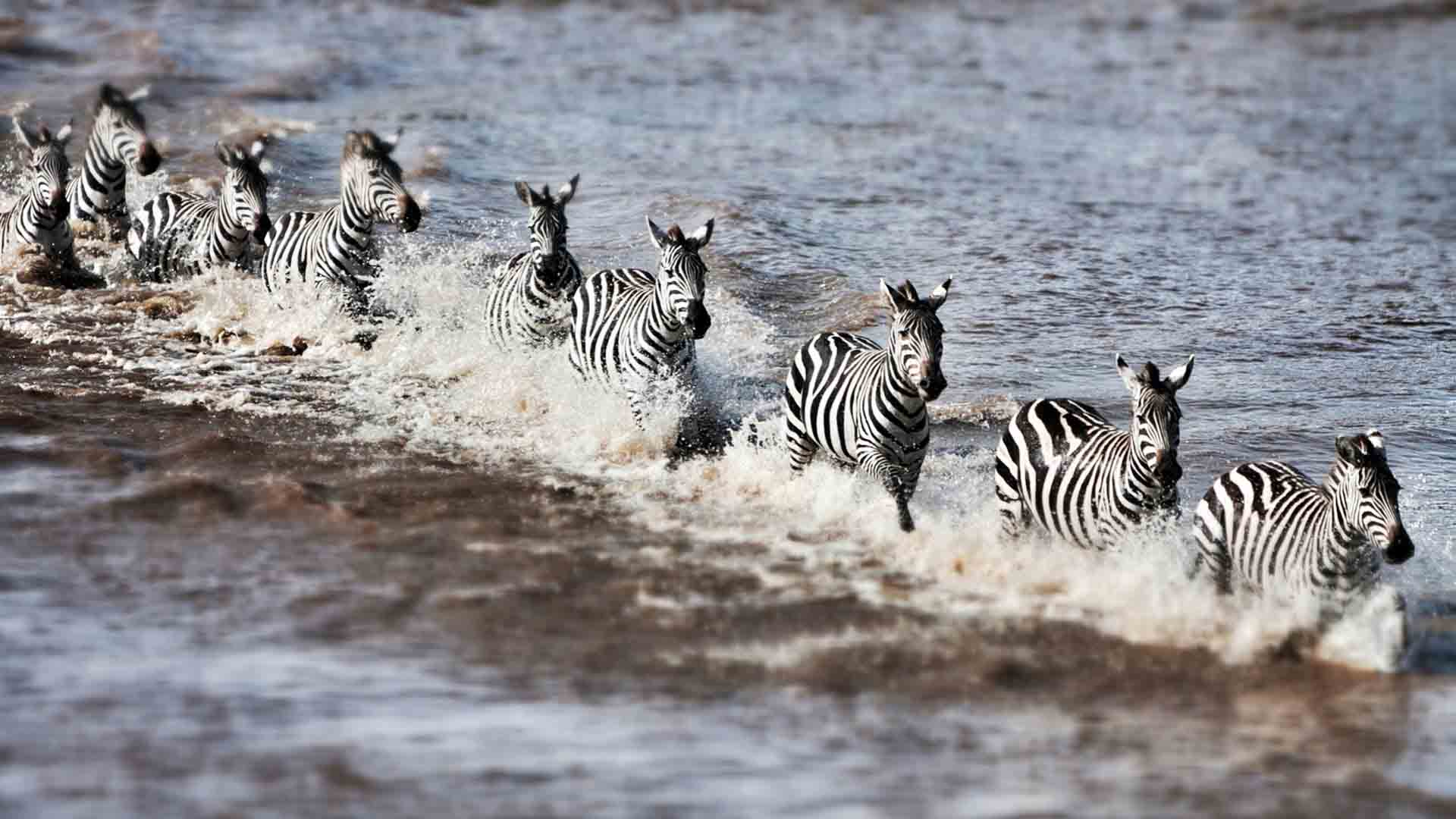 Kenya safari: running zebra