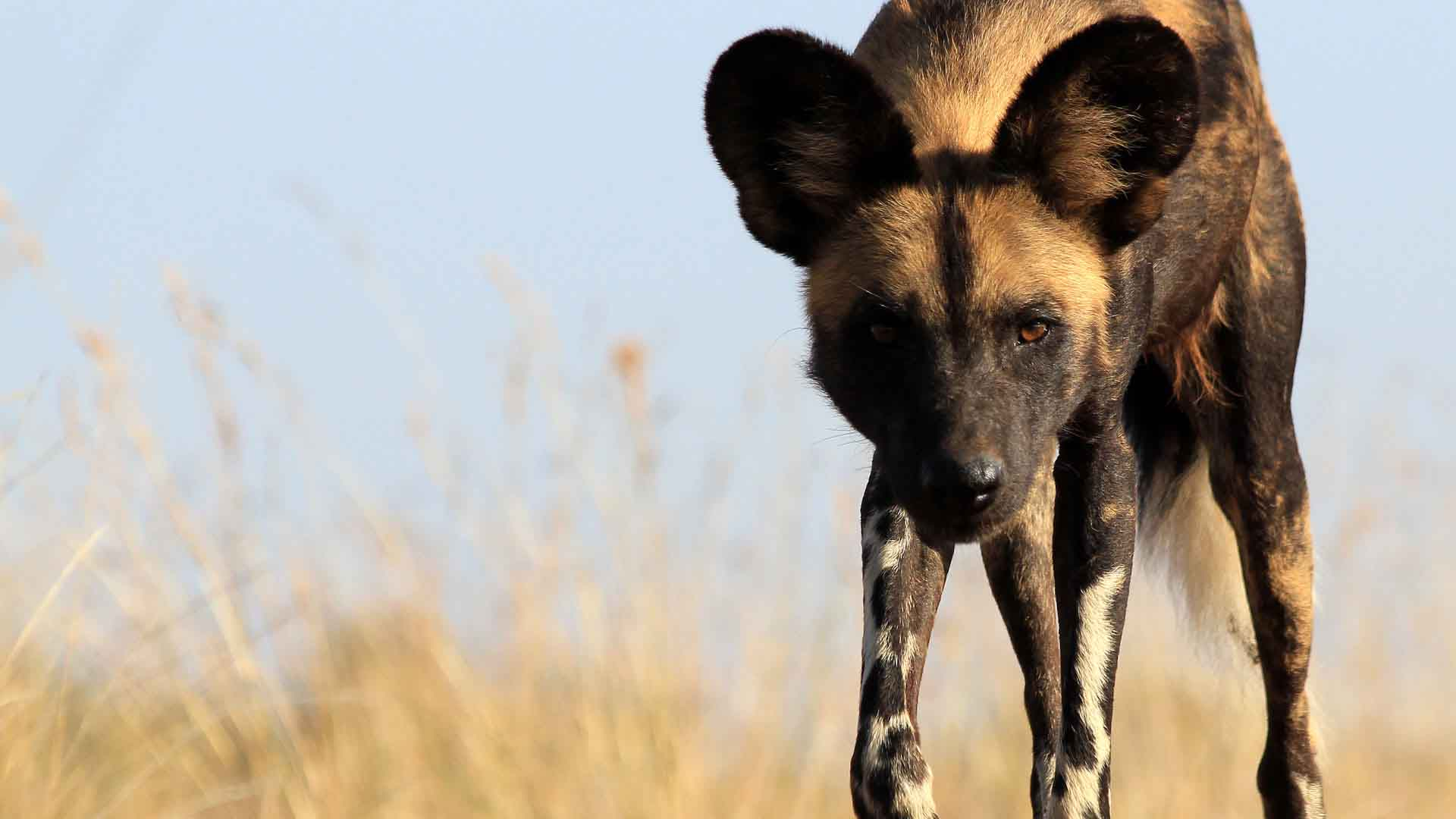 Wild dog close up, Kenya