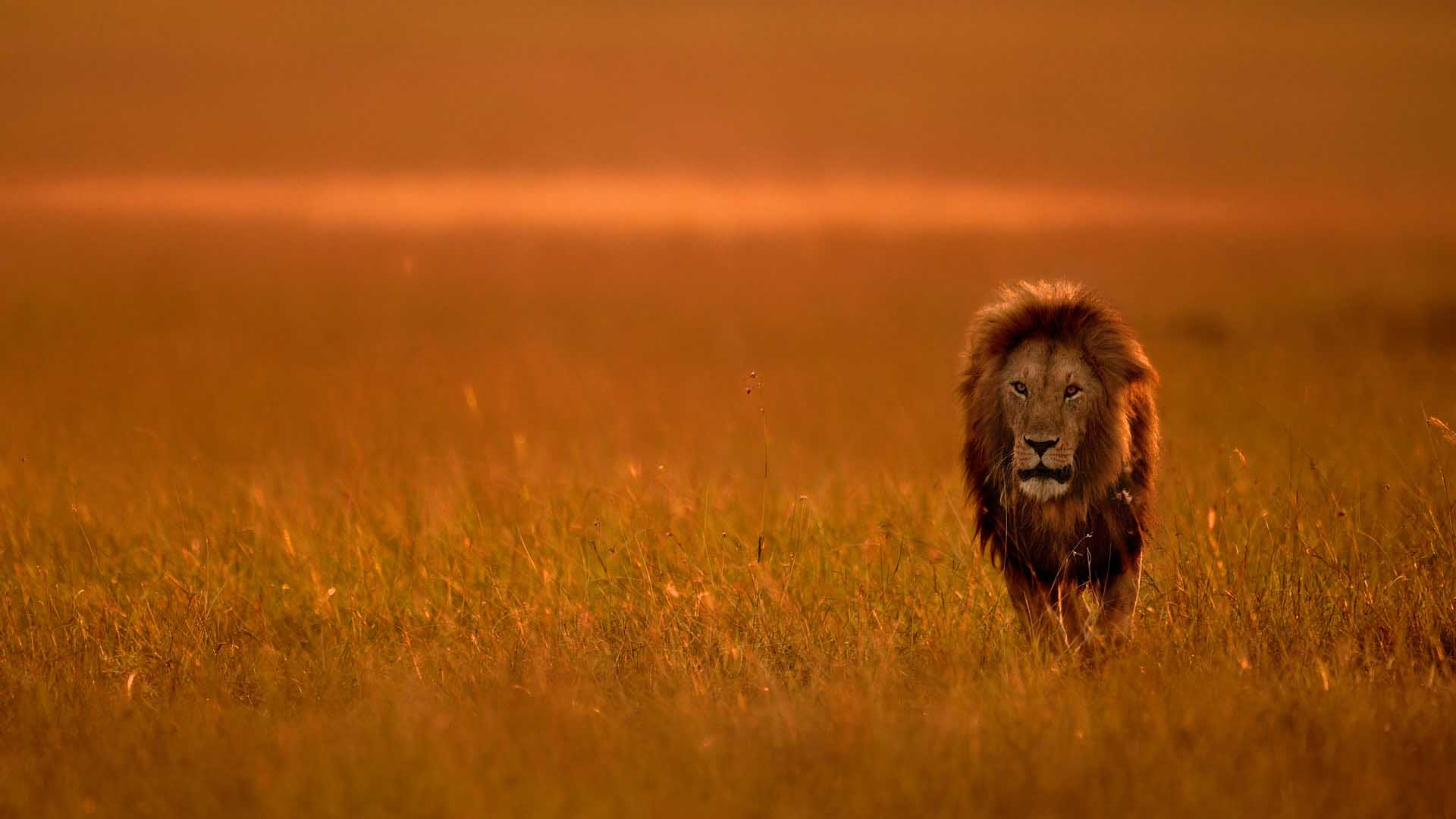 Lion with big mane, Kenya