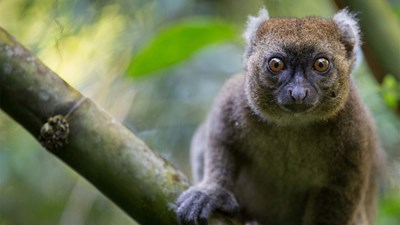 Greater bamboo lemur, Madagascar