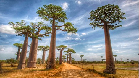 Baobabs in Madagascar by Russ MacLaughlin