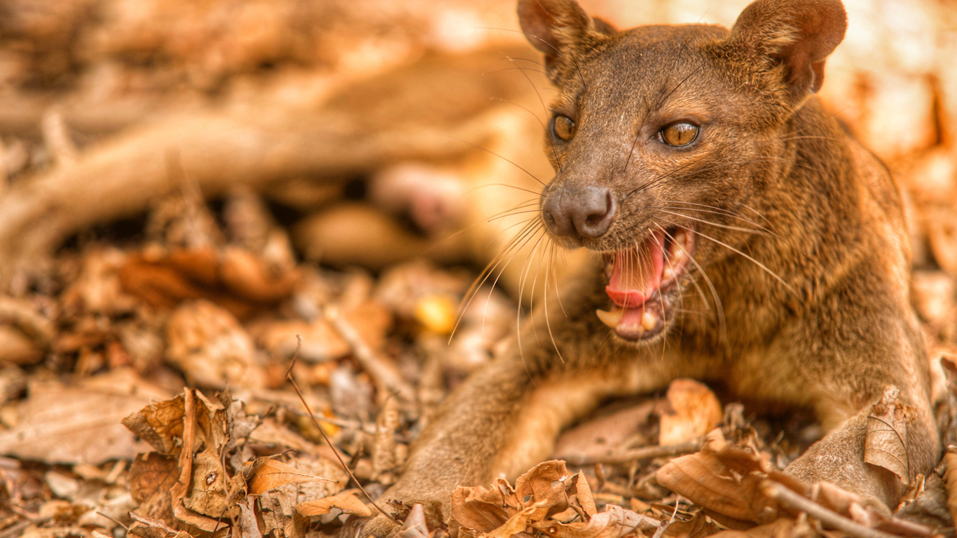 Fossa in Madagascar by Russ MacLaughlin