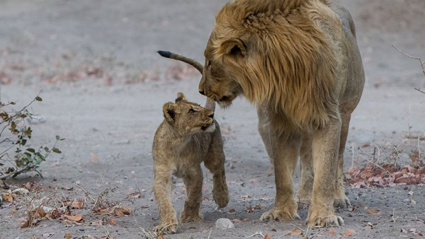 Lion and cub, Richard Denyer, Namibia