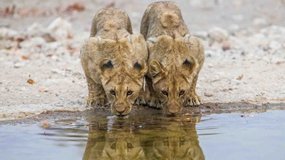 Namibia safaris; lion cubs