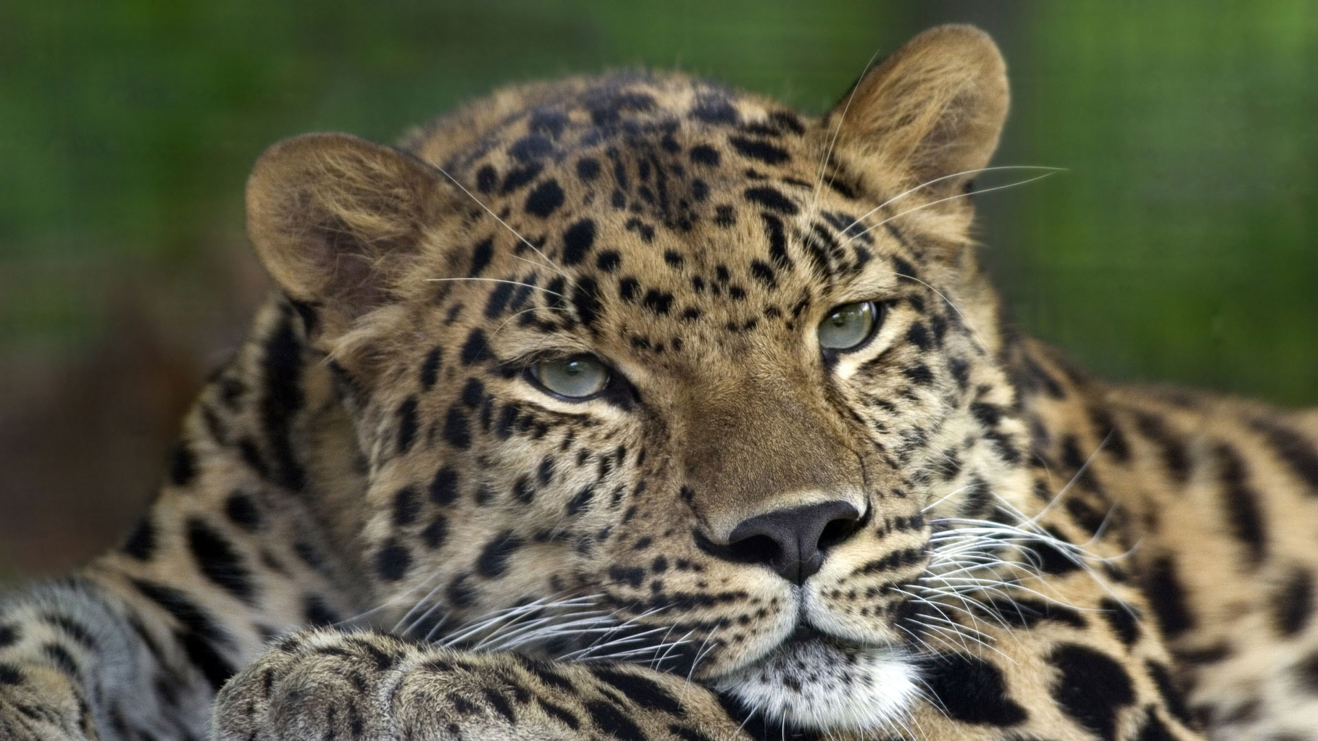 Amur leopard, Colin Hines, Wikimedia Commons