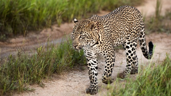 Leopard safari, South Africa