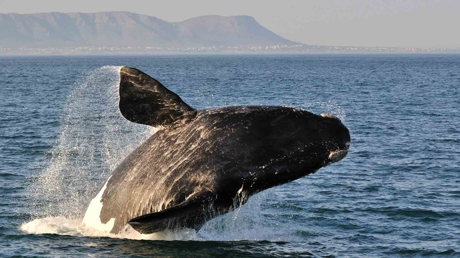 Humpback whale, Cape Town