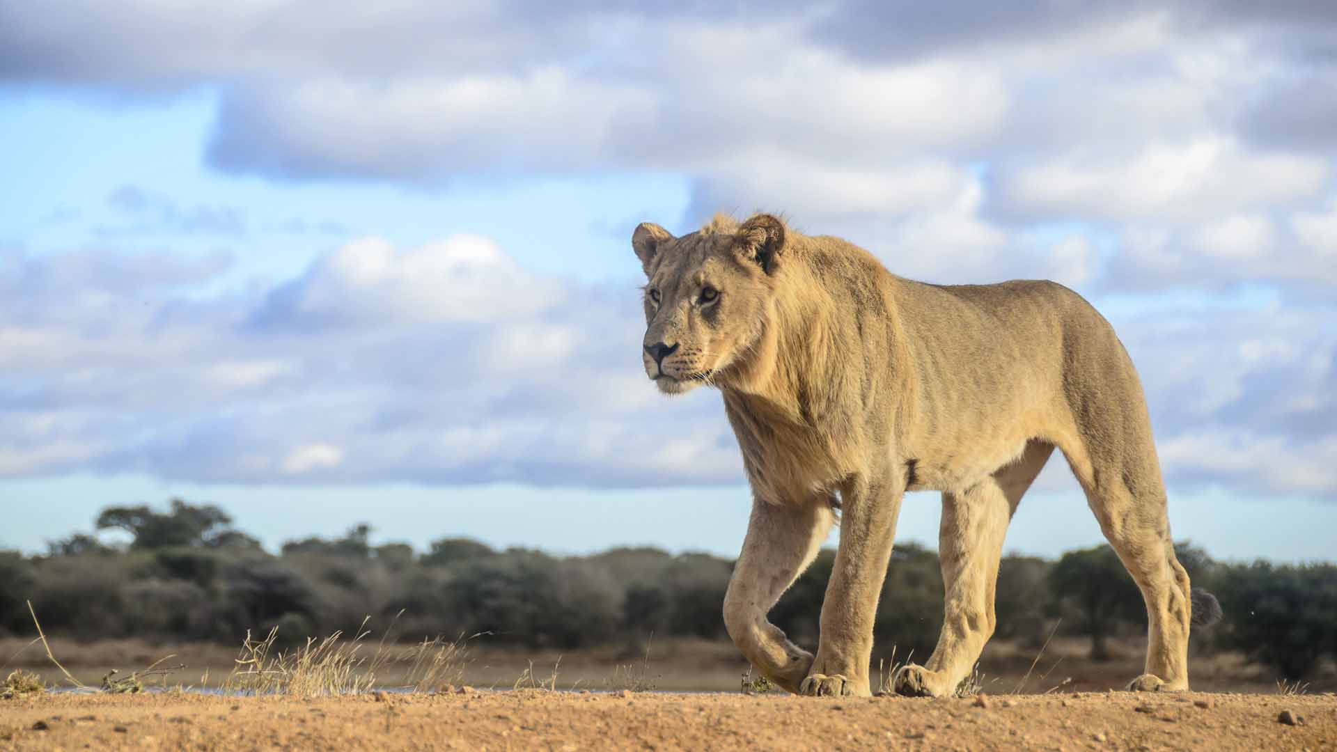 Female lion, South Africa