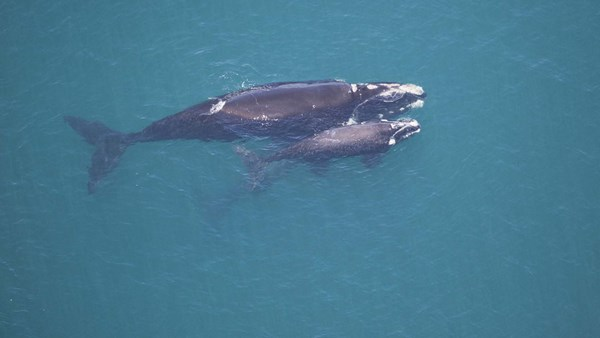 Southrn Right Whale, South Africa
