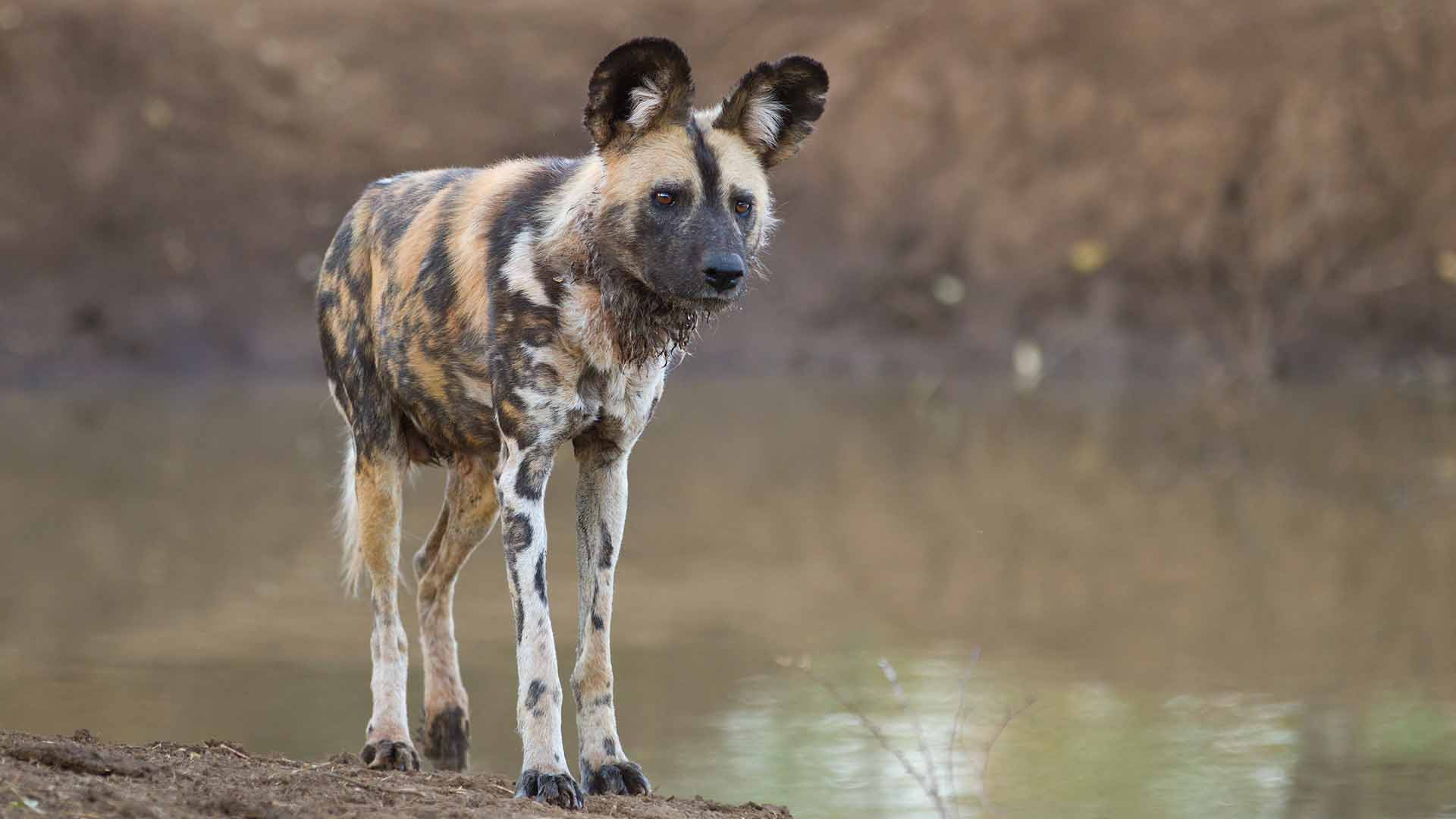 Wild dog,South Africa