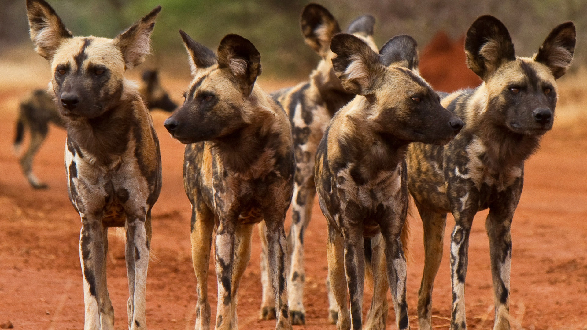 Wild dogs, South Africa