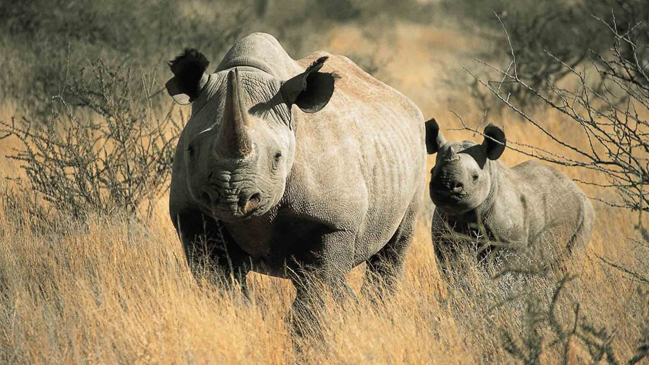 Black rhino at Tswalu, South Africa