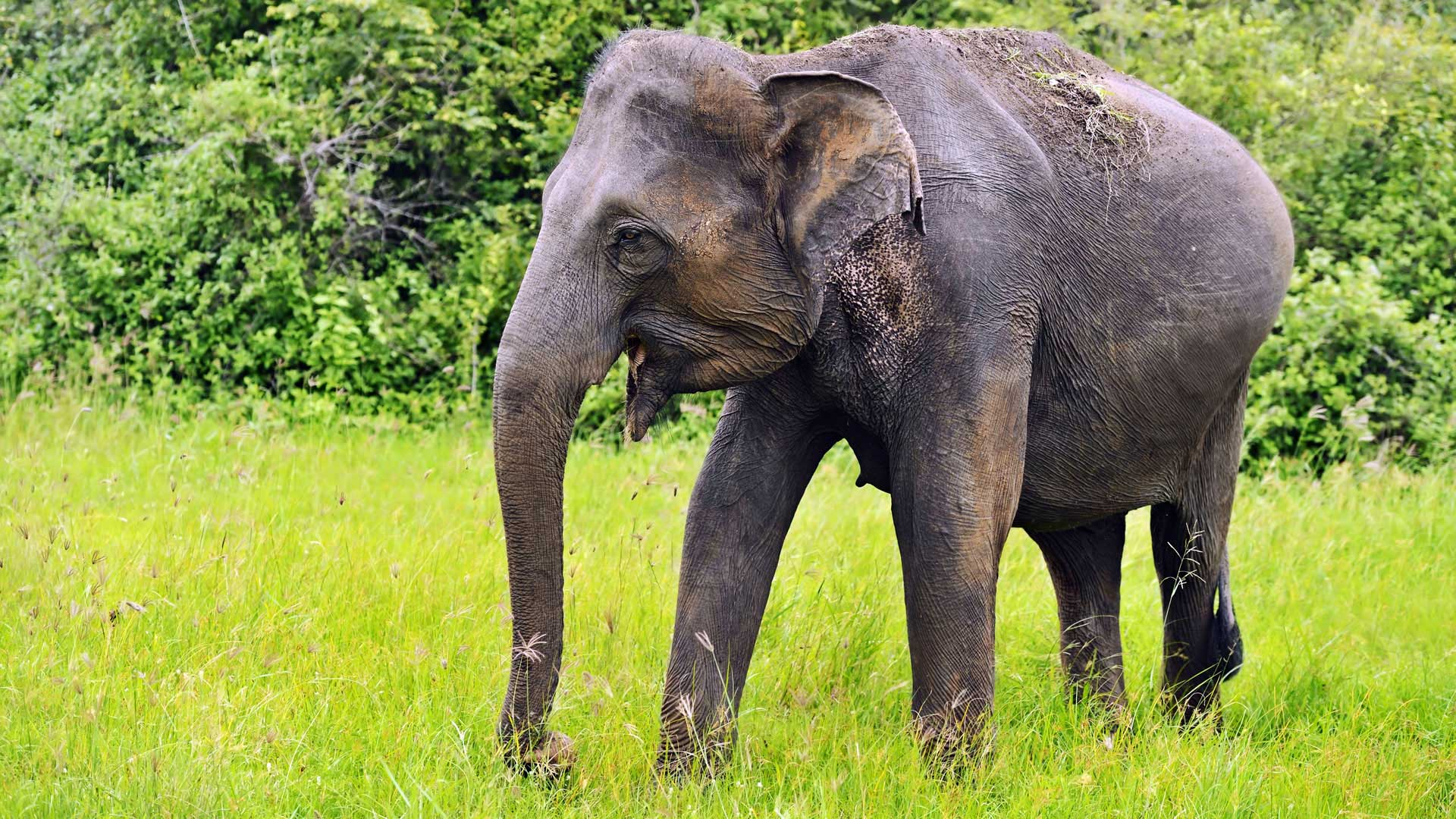 Asian elephant, Sri Lanka