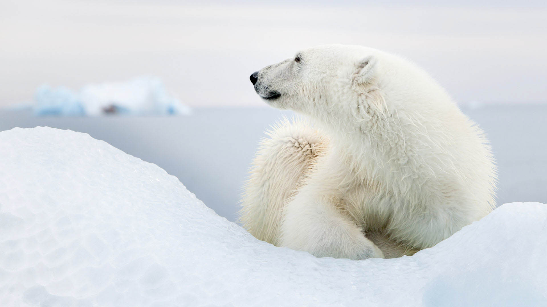 Polar bear close up, Svalbard