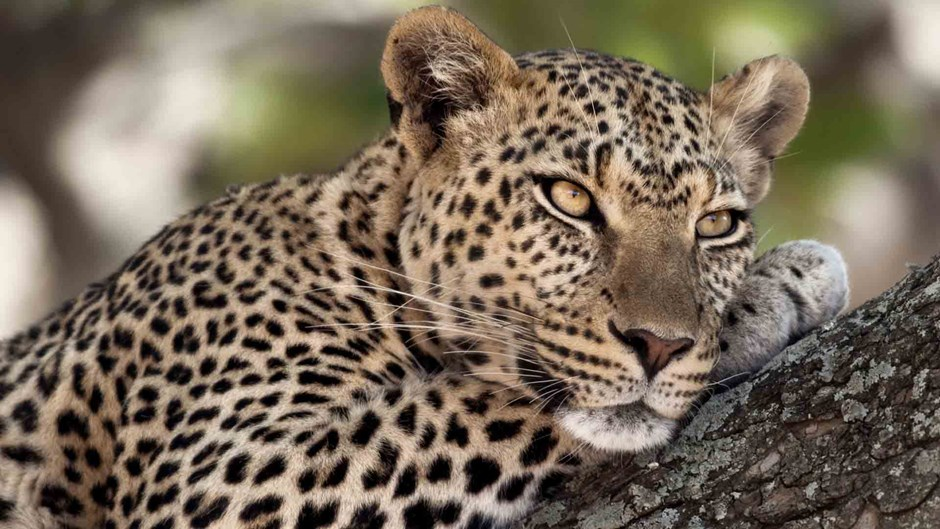 Leopard close up, Tanzania