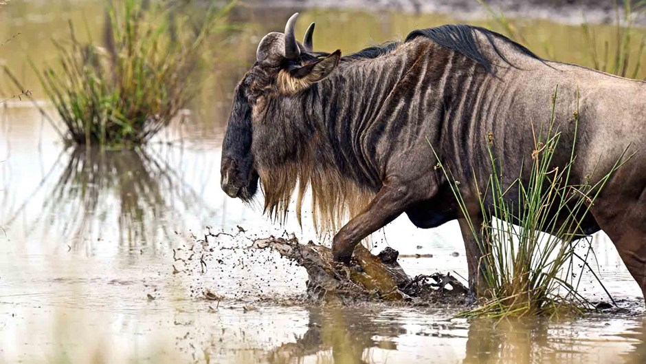 Wildebeest close up, Tanzania