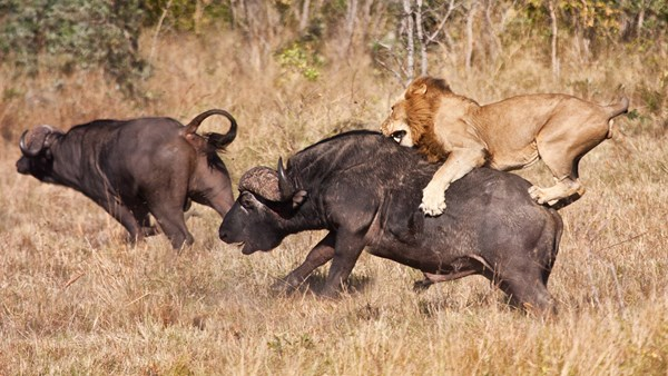Lion vs Buffalo, Uganda