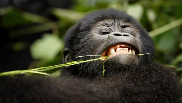 Mountain gorilla eating, Uganda